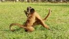 Bagarre de singes capucins au camping de Bonito au sud du Pantanal