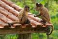 Festin de singes capucins au camping de Bonito au sud du Pantanal