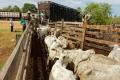 Embarquement des vaches dans un corral dans le Pantanal sud