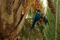 Les aras bleus et jaunes sont des gros consommateurs de fruits