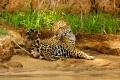 Notre premier jaguar pendant la navigation du matin : superbe mâle