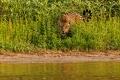 Jaguar femelle aperçue en fin d'après-midi