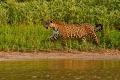 Jaguar femelle aperçue en fin d'après-midi : le jaguar en mouvement révèle son élégance et sa puissance