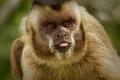 Singe capucin au camping de Bonito au sud du Pantanal