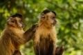Singes capucins sau camping de Bonito au sud du Pantanal