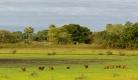 Capybaras, herbivores du Pantanal. C'est le plus gros des rongeurs au monde