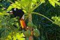 Dégustation de papaye d'un toucan goulu