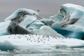 Sternes arctiques sur un iceberg de Jökulsárlón (fin juillet)