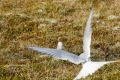 Poussin de Sterne arctique affamé (fin juin)