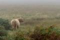 Vache des Highlands - Ile de Mull
