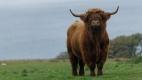 Taueau des Highlands - Ile de Mull