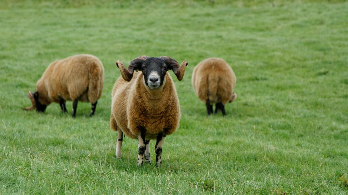 Comme son pote le mouton, la tondeuse écossaise.