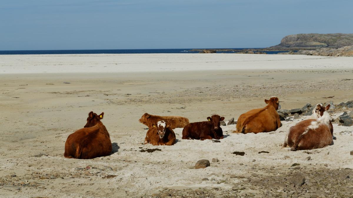 Vaches à la plage - Ile de Barra
