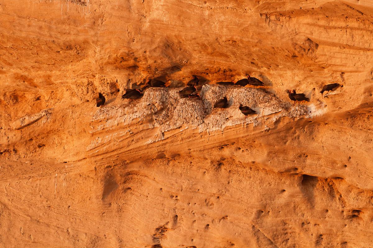 Nids d'ibis chauves dans la falaise