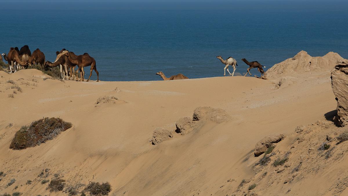 Jeunes dromadaires batiffolant dans les dunes
