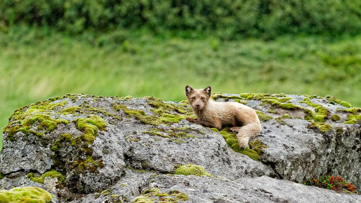 renard polaire menace